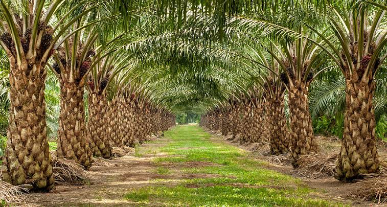 Federal Government promise to create over 4millions jobs through OilPalm